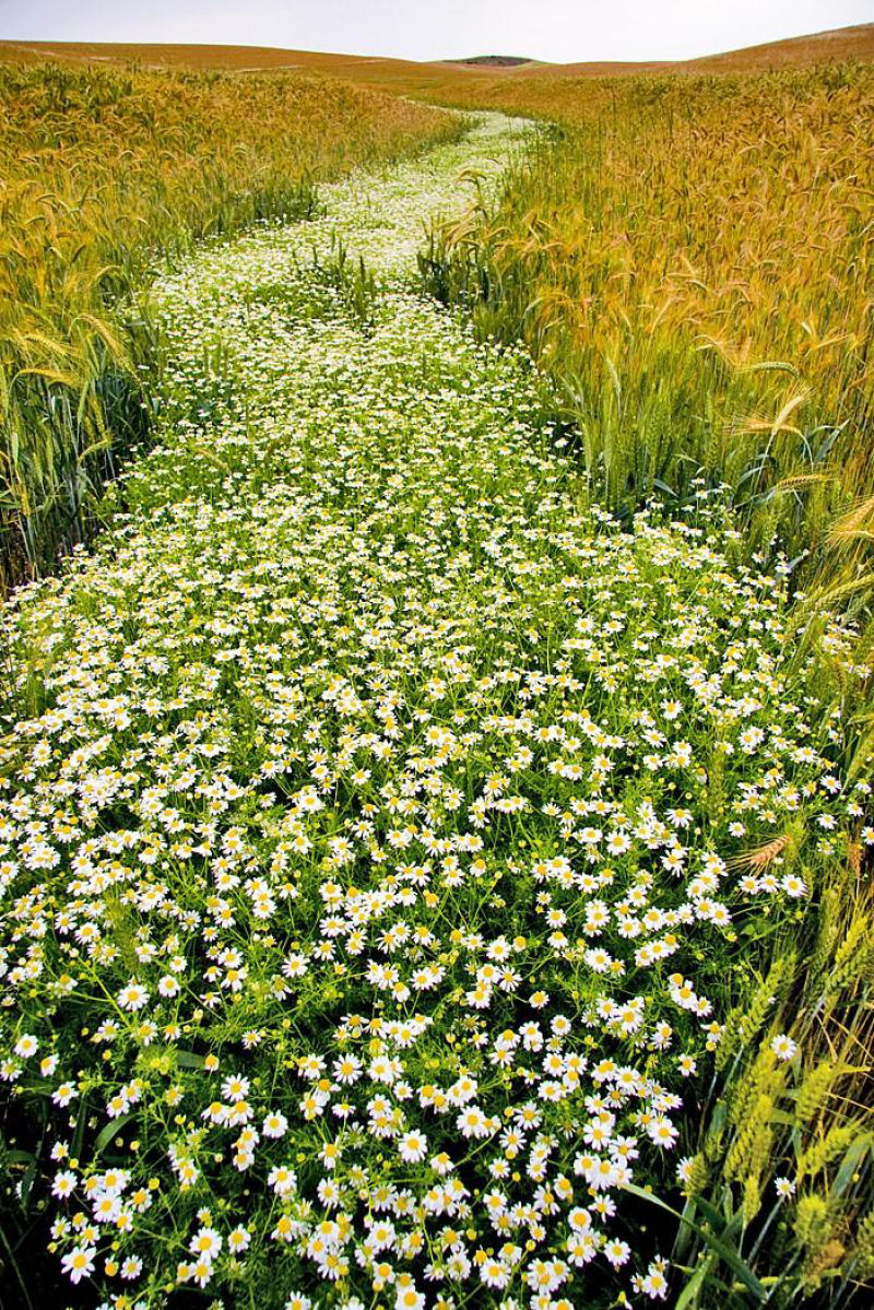 A stream of flowers between fields of wheat (credit: unknown, copyright orphan)